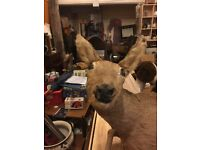 Taxidermy full deer cost £500 selling the last of my collection