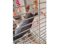 Beautiful African grey parrot