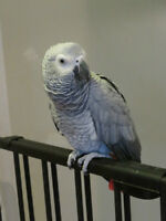 African Grey Congo foe sale with cage/toys/acessories