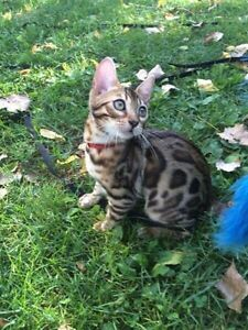 Top bengal breeder/ High quality kittens