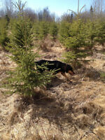 Over 2500 field grown Spruce Trees for sale