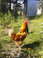 Young Rooster for sale