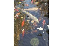 Moving so need to find a good home for my pond fish