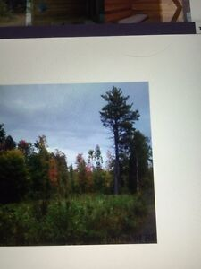 White Pine logs/trees for sale