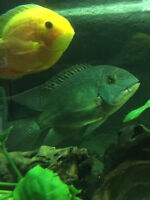 LARGE true parrot cichlid fish