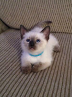 CHOCOLATE POINT SIAMESE KITTEN