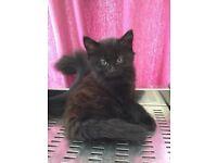 Kittens for sale £60