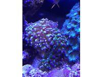 Marine frogspawn coral (fish tank)