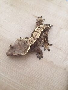 Adult Female Extreme Harlequin Pinstripe Crested Gecko London Ontario image 8