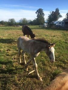 SOLD- Baby Clydesdale