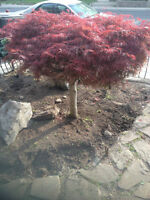 Chinese Maple Tree