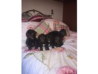Chocolate cockerpoo puppies f1