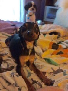 """Young Male Dog - Miniature Pinscher: """"Kolby"""""""