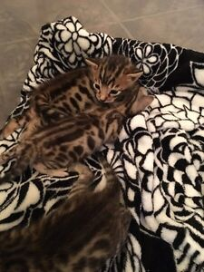 Gorgeous TICA reg. Bengal female with breeding rights
