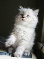 Persian kittens are ready for adoption