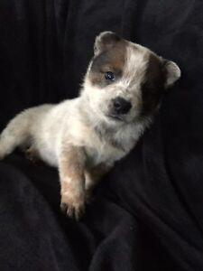 Heeler Puppies Strathcona County Edmonton Area image 1