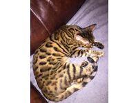 Tica registered - Bengal Kittens