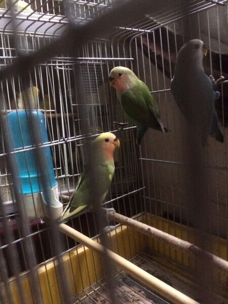 Lovebird for sale