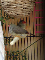 Star finches, cages, accessories