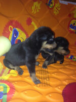 Doberman mixed puppies for sale