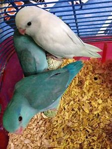 HAND FED HAND TAME PARROTLET BABIES London Ontario image 2