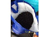 Freshly picked sloe berries