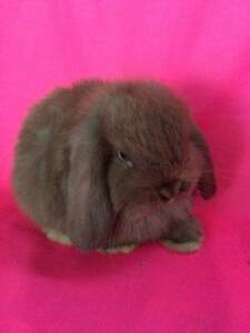 ♥♥ Quality Purebred Mini Lop Baby Rabbits Hutch Package Deals ♥♥ Londonderry Penrith Area Preview