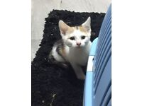 Queen Kitten plus package for sale