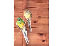 Red rump parakeets for sale
