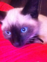 Siamese cat 1 year old