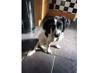 Pedigree English springer spaniel pup