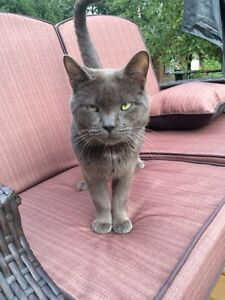 FOUND male grey cat with white patch on chest