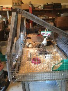 Complete guinea pig setup!!