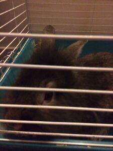 Selling rabbit  St. John's Newfoundland image 3