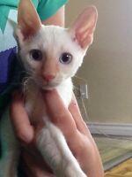 Superbe femelle fertile rex cornish blanc pointé roux yeux bleus