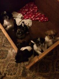 Shuggie puppies