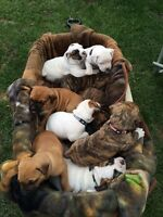 Valley Bull Dog Puppies for Sale