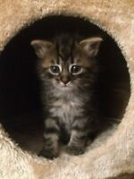 Cutie Little Maine Coon - are you looking for a fur-ball ?? XD