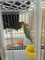 4 beautiful birds for sale with cage