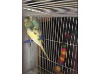 Adult pair of budgies
