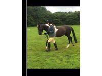 Superstar 13.1hh pony for sale!