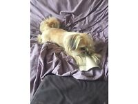 Adorable 8 month old male shihzu x chihuahua