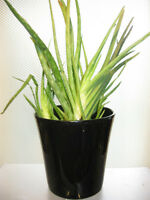 Black Ceramic Pot with Aloe Vera Plants in a Second Platic Pot