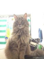 Je cherche ma chatte 5 ans à Longueuil perdue