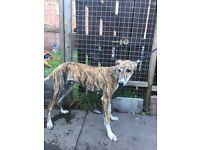 Young male lurcher