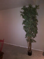 7.5 Silk Tree