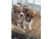 Stunning jack Russell pups for sale