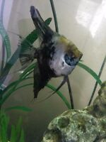 Female angle fish for sale