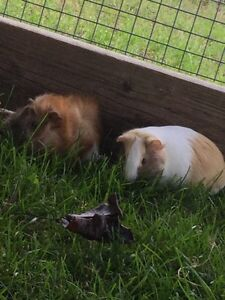 Lots of adorable guinea pigs for sale