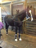 Quiet Thoroughbred gelding with lots of potential!